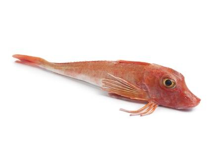 seafish: Whole single fresh red Tub gurnard fish