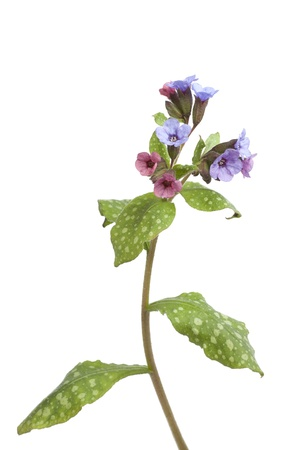 Flowering Lungwort on white background Stock Photo - 9241265