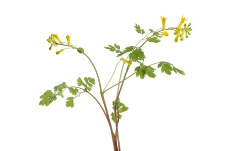 rue:  Twig of flowering Rue at white background
