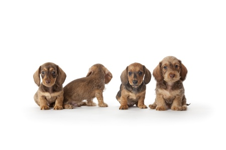 Four wire-haired dachshund puppies   Stock Photo
