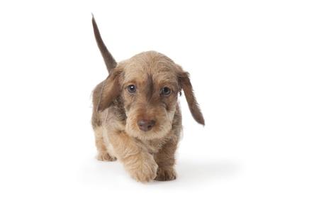 Walking wire-haired dachshund puppy