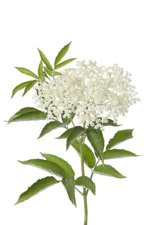personnes �g�es: Fleurs de sureau et feuilles sur fond blanc