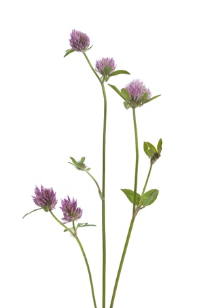 Red clover on white background Stock Photo - 9970078