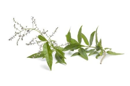 Twig of flowering verveine on white background Stock Photo