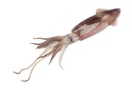 Whole single fresh raw calamari on white background