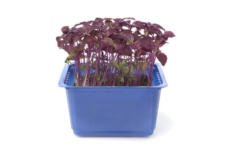 Fresh purple shiso in a blue plastic container on white background photo