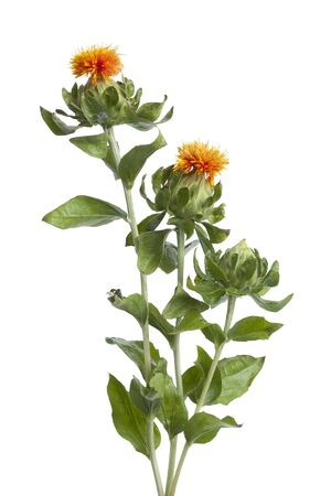 thistles: Orange Safflower and buds on white background Stock Photo