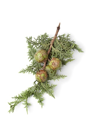 Mediterranean Cypress cones and foliage on white background