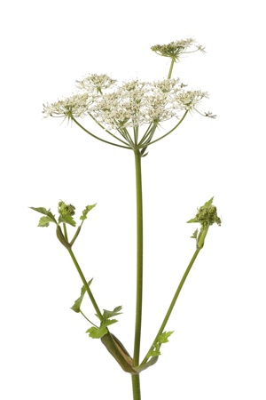 Wild Angelica flower on white background Banque d'images