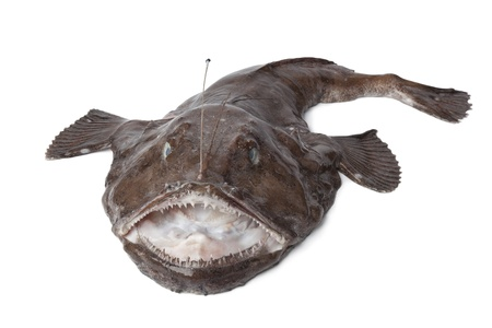 Whole fresh Monkfish on white background