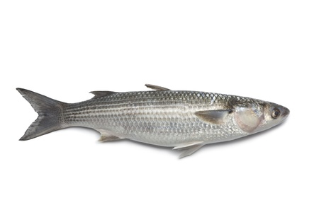 Whole fresh grey mullet on white background photo