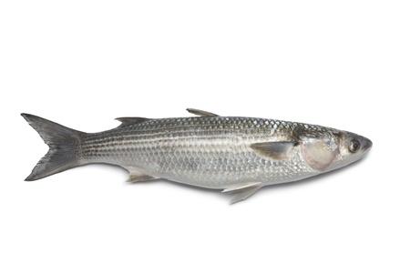 Whole fresh grey mullet on white background photo
