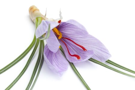 Crocus sativa flower close up on white background photo