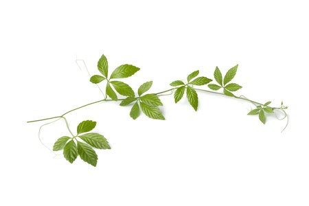 immortality: Fresh twig of a Jiaogulan vine on white background Stock Photo