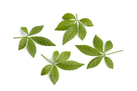 immortality: Fresh Jiaogulan leaves on white background Stock Photo