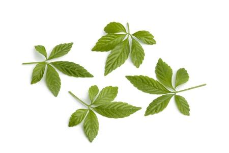 Fresh Jiaogulan leaves on white background Stock Photo