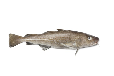 raw fish:  Fresh atlantic cod fish on white background