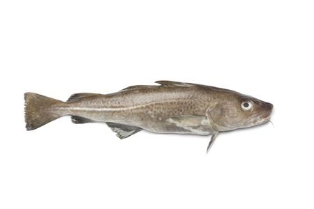 cod:  Fresh atlantic cod fish on white background