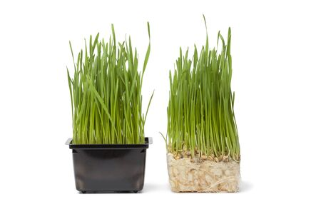 wheat grass:  Organic wheat grass in plastic containeron white background Stock Photo