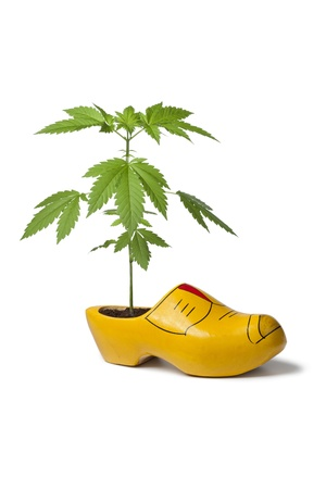 Marijuana Plant In Dutch Wooden Shoe As A Symbol For The Tolerance