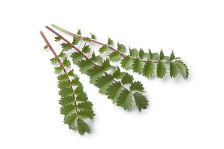sanguisorba:  Fresh small burnet leaves on white background Stock Photo