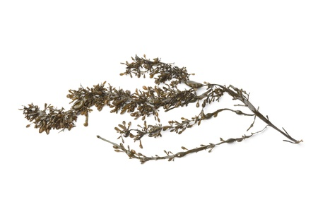 Branche of common seaweed on white background Banque d'images