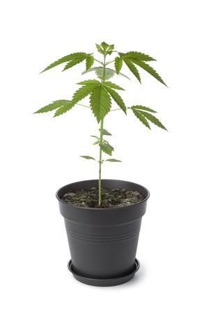 hanf: Marihuana-Pflanze in Plastiktopf auf weißem Hintergrund Lizenzfreie Bilder