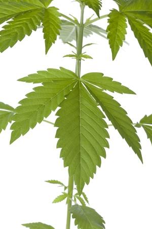Marijuana plant close up on white background photo