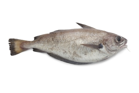 Single fresh pout whiting on white background