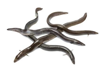 Frais anguille européenne sur fond blanc