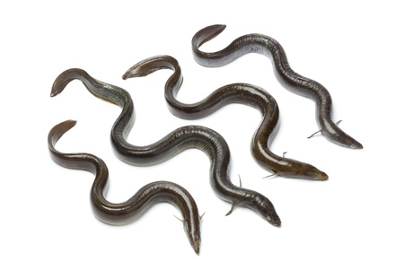 eel:  Fresh  European eel on white background Stock Photo
