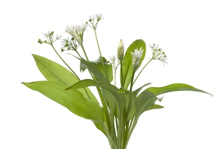 Fresh blooming Ramson on white background Stock Photo - 13598091