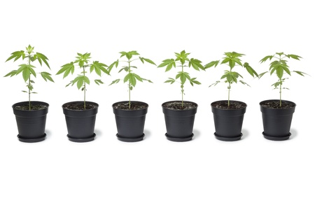 marijuana plant: Row of  Marijuana plants in plastic pot on white background Stock Photo