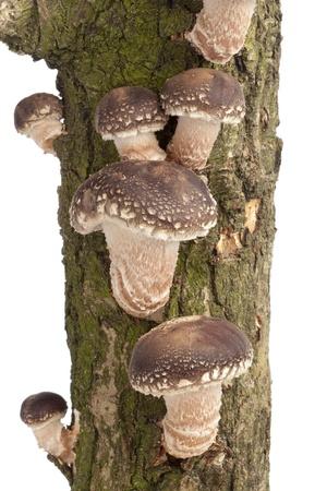 shiitake:  Shiitake mushrooms growing on a tree on white background