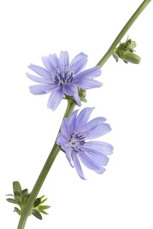 chicory flower: Fresh blue flowering chicory on white background