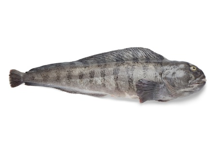 seafish:   Fresh raw Atlantic wolffish on white background