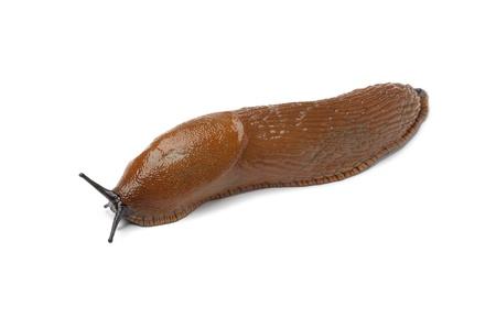 gastropod:  Single slug on white background