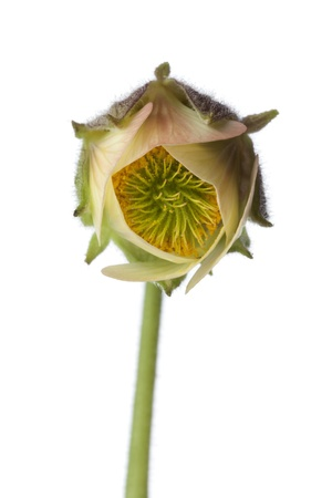 nodding:  Close up of water avens flower on white background