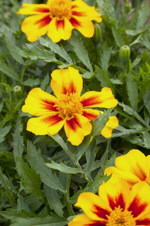 tagetes: Tagetes flowers with buds Stock Photo