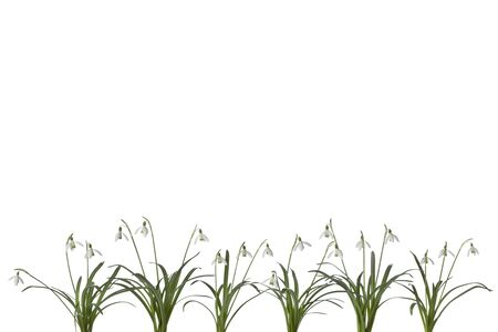 snowdrop:  Row of Snowdrop flowers on white background with space for text on top of the page
