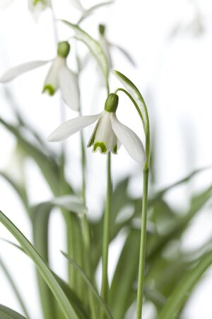 White Snowdrop flower closeup photo