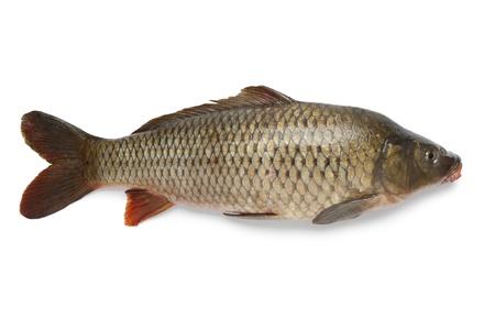 cyprinidae: Single whole carp fish at white background Stock Photo
