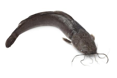 Single fresh catfish on white background Stock Photo