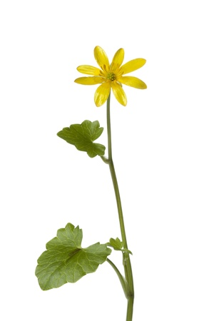 lesser: Yellow Lesser celandine flower on white background Stock Photo