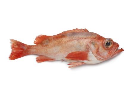 Single redfish on white background