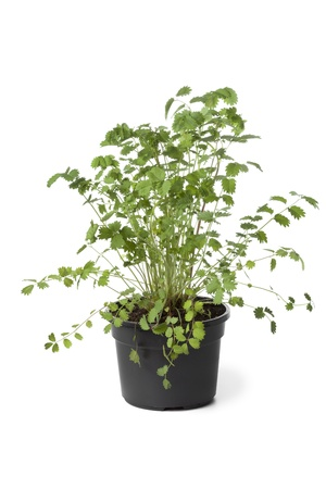 sanguisorba: Pot with Small burnet plant on white background Stock Photo