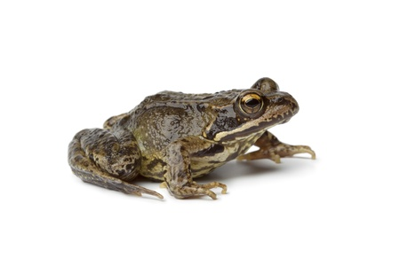 anura: Common frog on white background