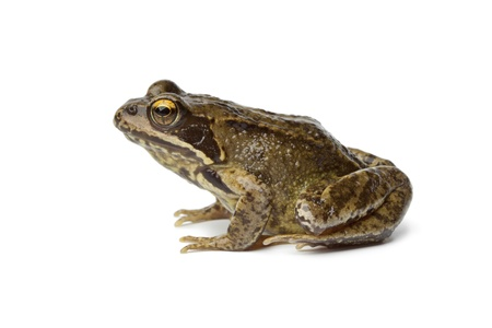 profil: Common frog on white background