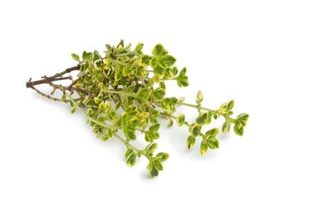thymus: Twig of lemon thyme on white background