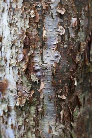 limbo: Peeling bark of the Gumbo Limbo tree